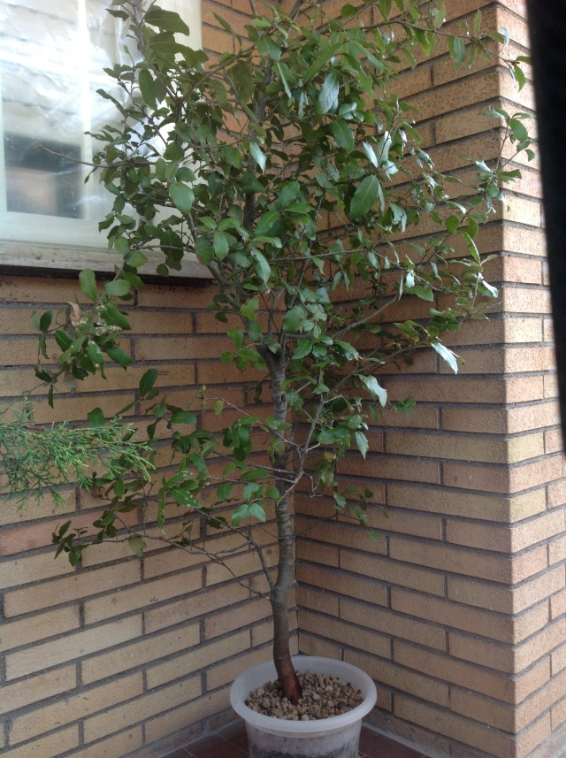 quercia ....... Foto_i13