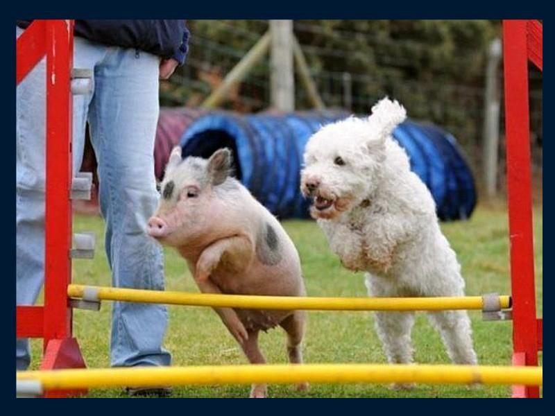 eleve un cochon pour la consomation Cochon10
