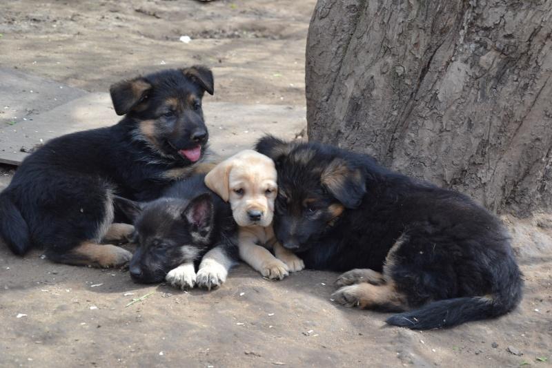 Многопордный питомник предлагает щенков разных пород Dsc_0425