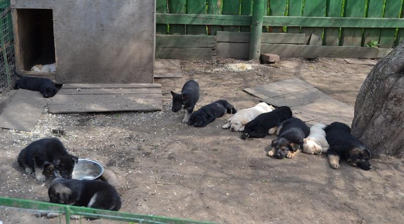 Многопордный питомник предлагает щенков разных пород Dsc_0537