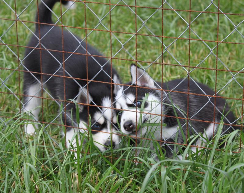 щенки - продаются щенки Сибирского хаски Img_9610