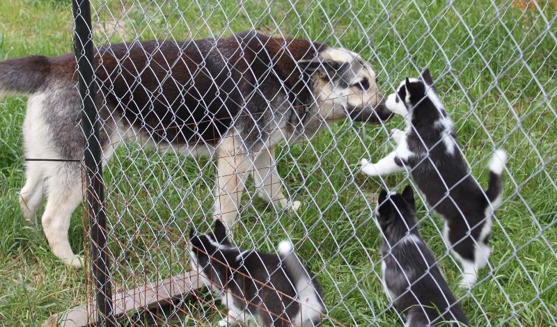 щенки - продаются щенки Сибирского хаски Img_9611