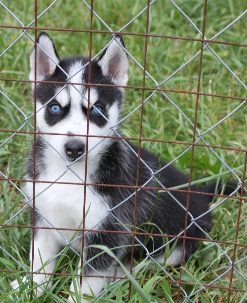 щенки - продаются щенки Сибирского хаски Img_9612