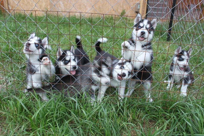 щенки - продаются щенки Сибирского хаски Img_9613