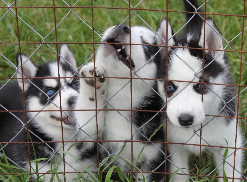 щенки - продаются щенки Сибирского хаски Img_9614