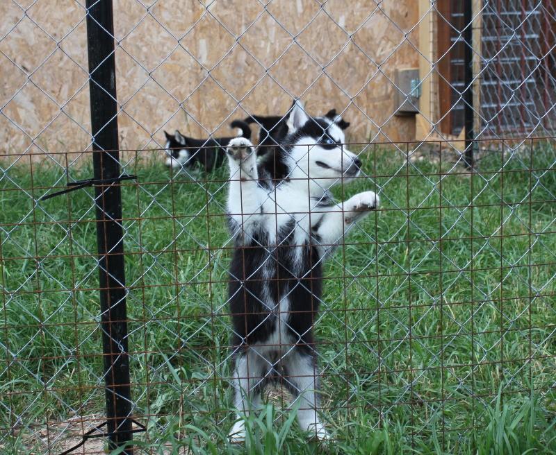 щенки - продаются щенки Сибирского хаски Img_9711