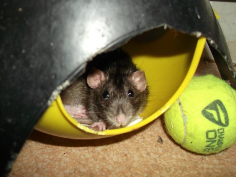 Mes rats d'hier et d'aujourd'hui...  Dscf2311