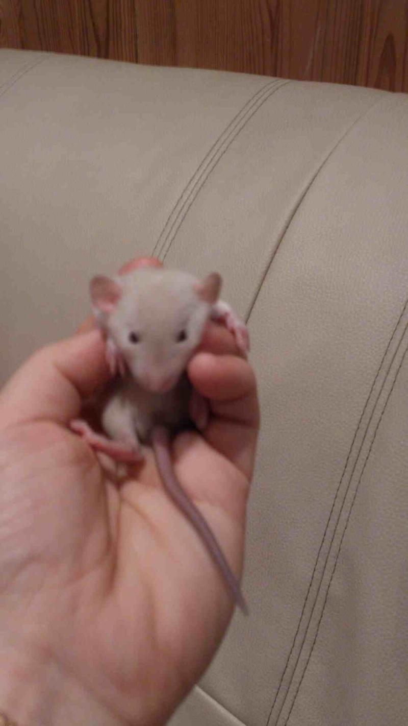 Mes rats d'hier et d'aujourd'hui...  Mms_im11