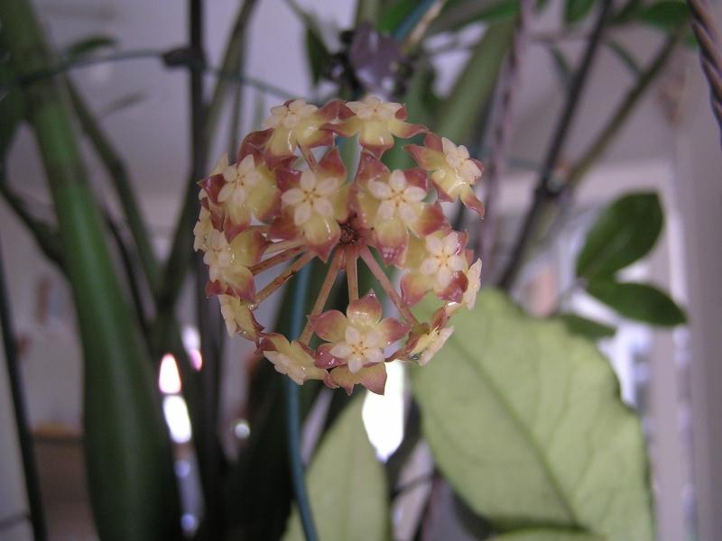 Floraison de mon finlaysonii P5020510