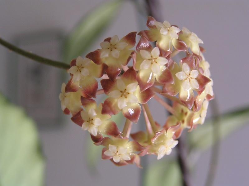 Floraison de mon finlaysonii P5020511