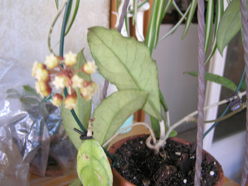 Floraison de mon finlaysonii P5030510
