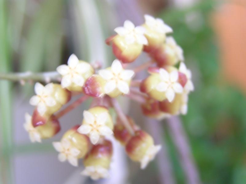 Floraison de mon finlaysonii P5030511