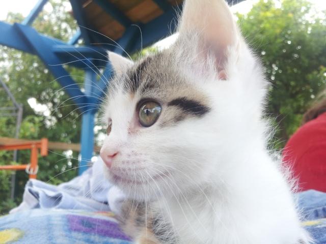 Iroise, femelle type européenne, tricolore, née 1er mai 2013 20130611