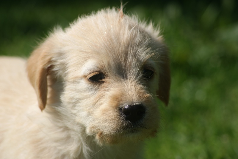 Buffy, lab xx griffon 2 mois Buffy10