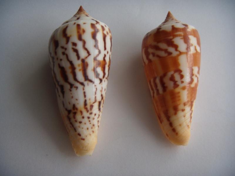 Conus (Phasmoconus) janus   Hwass in Bruguière, 1792 Dscn0617