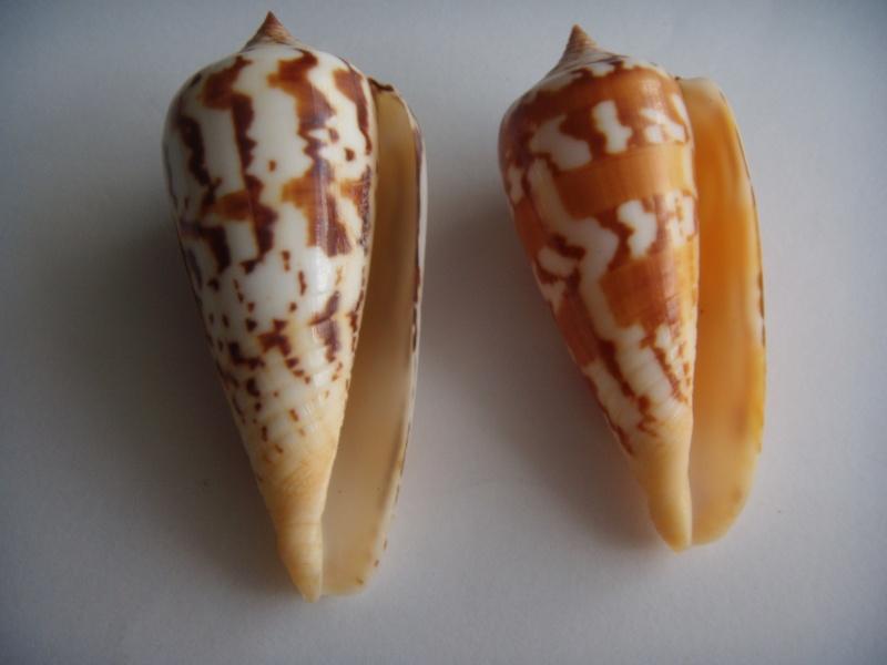 Conus (Phasmoconus) janus   Hwass in Bruguière, 1792 Dscn0618