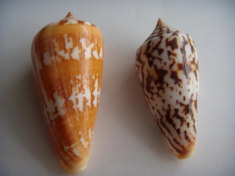 Conus (Phasmoconus) janus   Hwass in Bruguière, 1792 Dscn0619
