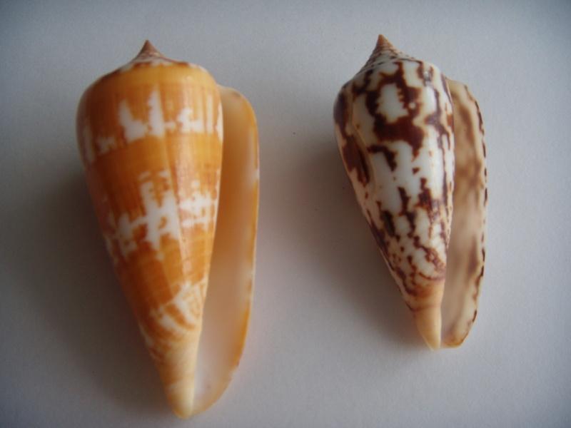 Conus (Phasmoconus) janus   Hwass in Bruguière, 1792 Dscn0620