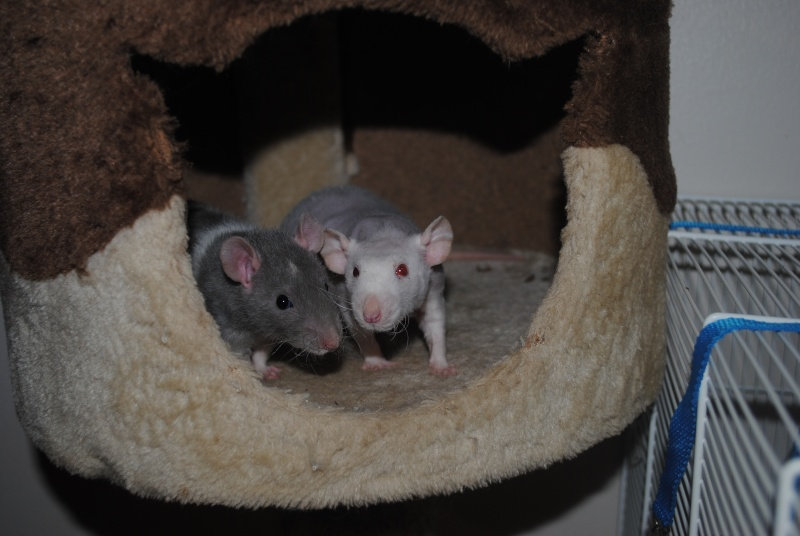Griffoir à chat pour les rats Dsc_0022