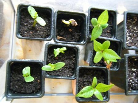Germinations Plumeria rubra ETNA/SANGARRUN  Plumer12