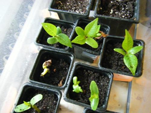 Germinations Plumeria rubra ETNA/SANGARRUN  Plumer13