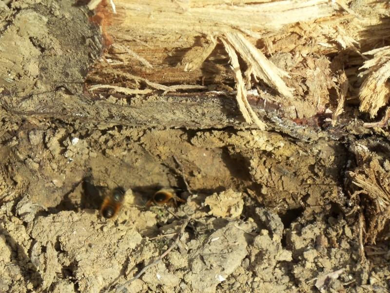 nids de guêpes sous une souche 100_3011