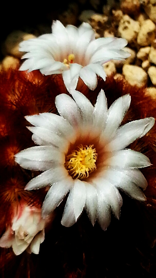 Mammillaria carmenae x laui hybr M_carm11