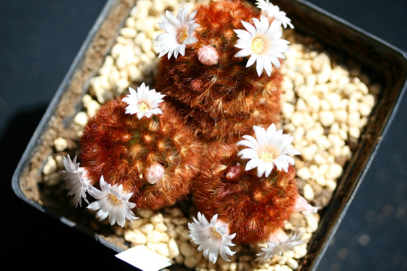 M. carmenae x laui hybr  and M. carmenae cv. brunispina Mammil11