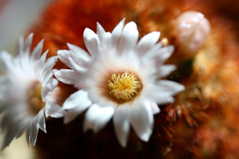 M. carmenae x laui hybr  and M. carmenae cv. brunispina Mammil12