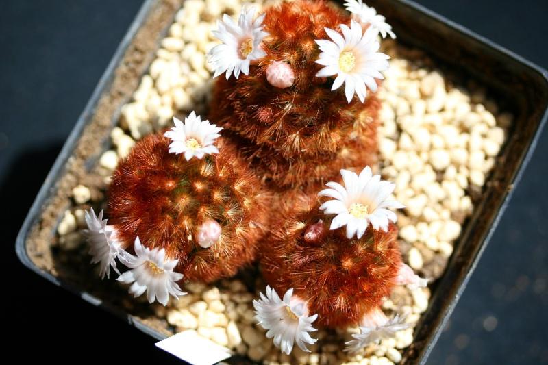 Mammillaria carmenae Mammil16