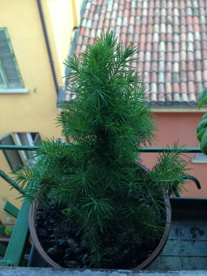 vorrei fare un bonsai da un abete Abete11