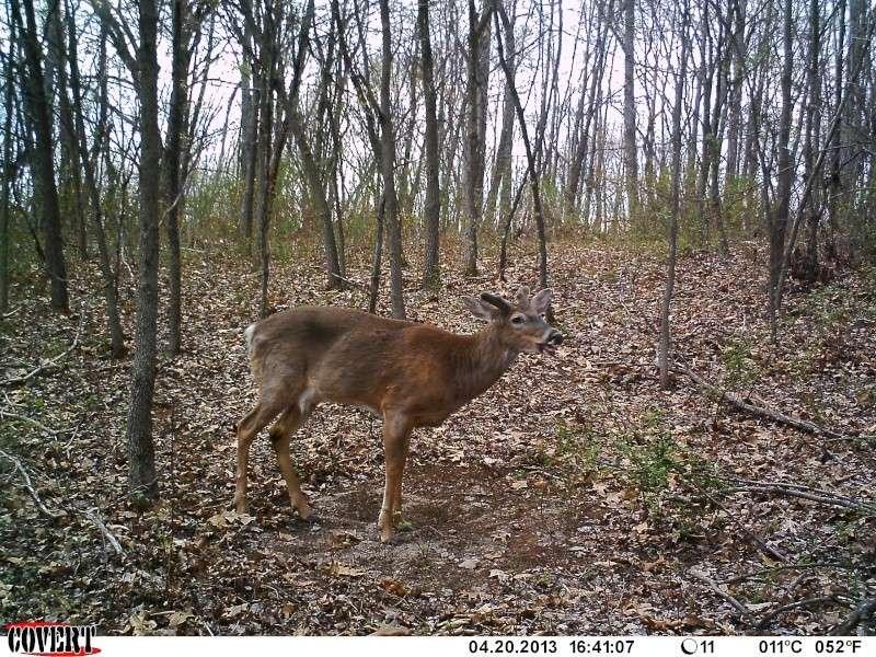 potential buck 09311