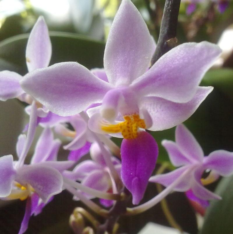 Phalaenopsis equestris Equest10