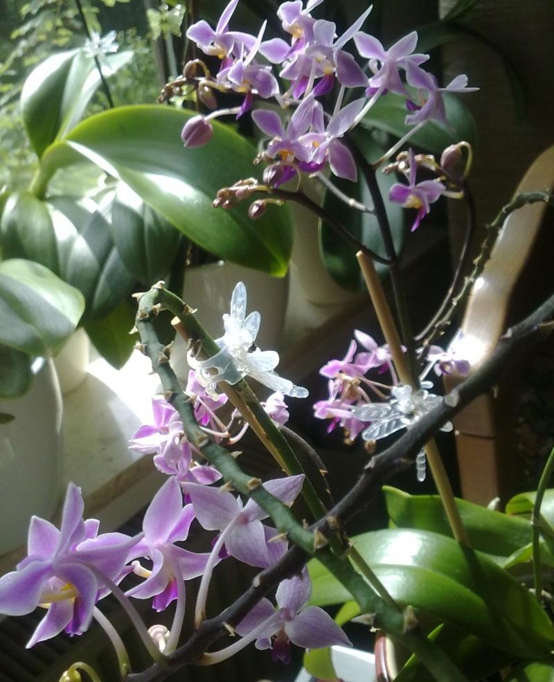 Phalaenopsis equestris Equest13