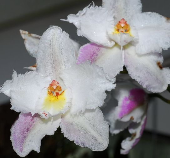 Odontoglossum crispum Odm_cr10