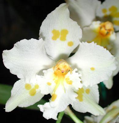 Odontoglossum crispum Odonto10