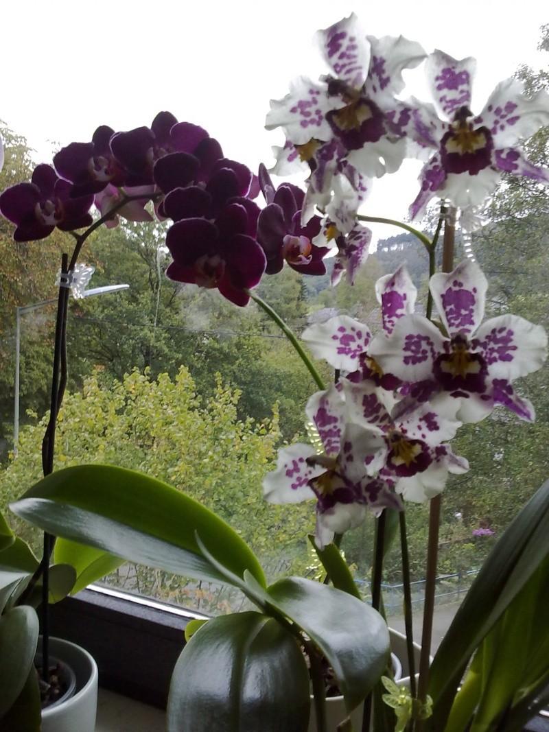 Odontoglossum Anna Claire Phal_d12