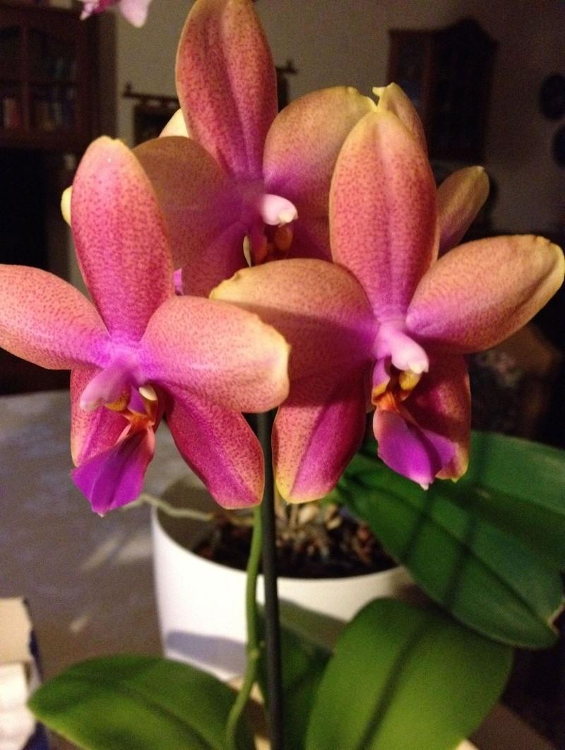 Phalaenopsis Liodoro! - Seite 2 Phal_l16