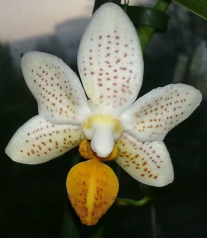 Phalaenopsis Mini Mark Phal_m11