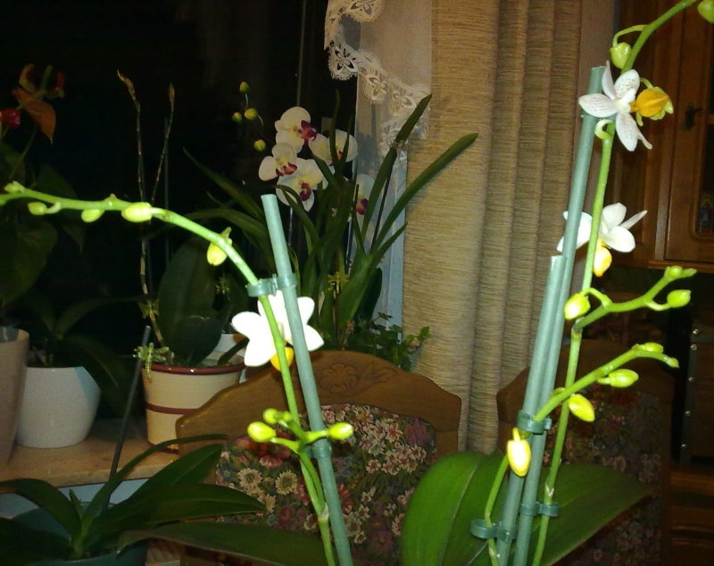 Phalaenopsis Mini Mark Phal_m12