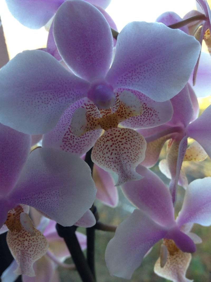 Phalaenopsis schilleriana x stuartiana (Philadelphia) Phalae10