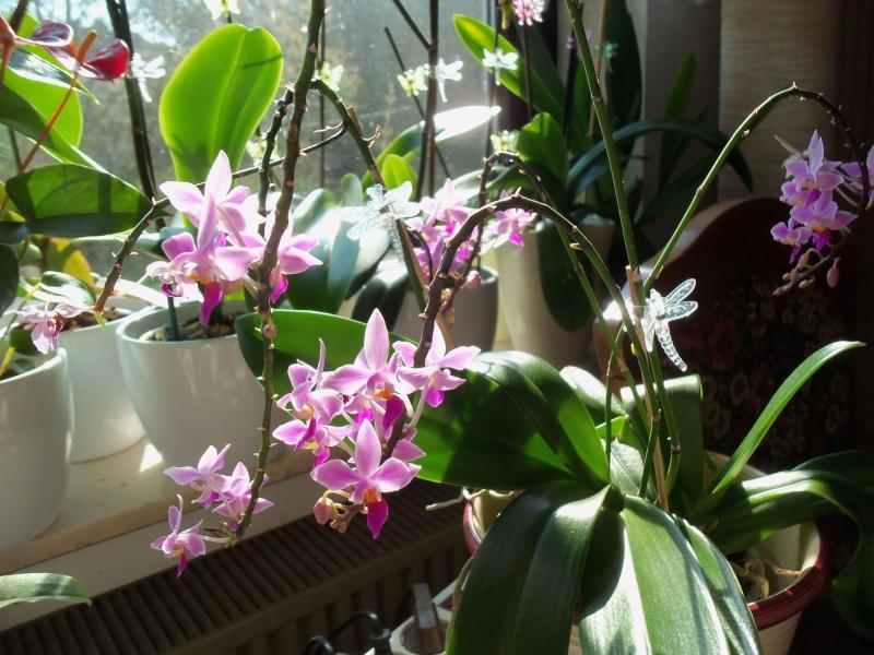 Phalaenopsis equestris Phalae16