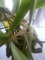 Yucca tombant Img_2014