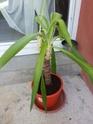 Yucca tombant Img_2015
