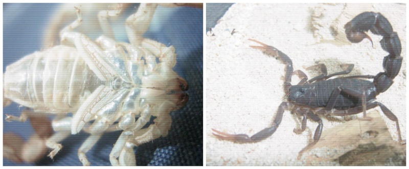 Sexing Parabuthus transvaalicus Picmon13