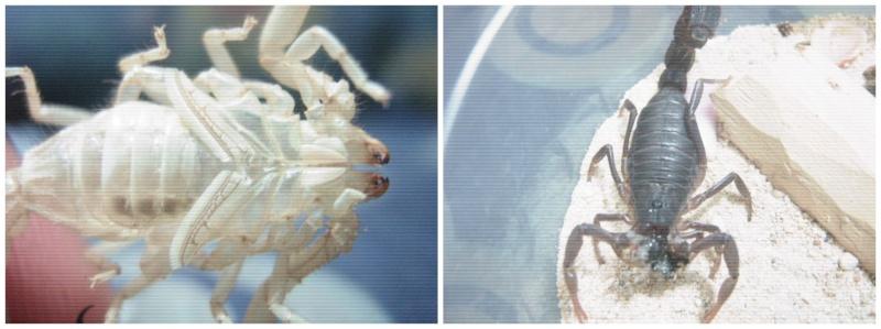 Sexing Parabuthus transvaalicus Picmon14