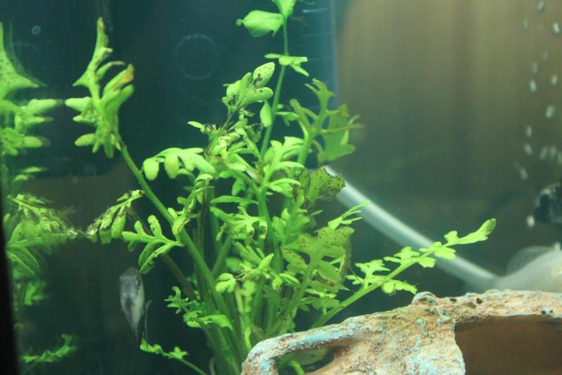 mon rikiki aquarium de 25 L  Img_4312