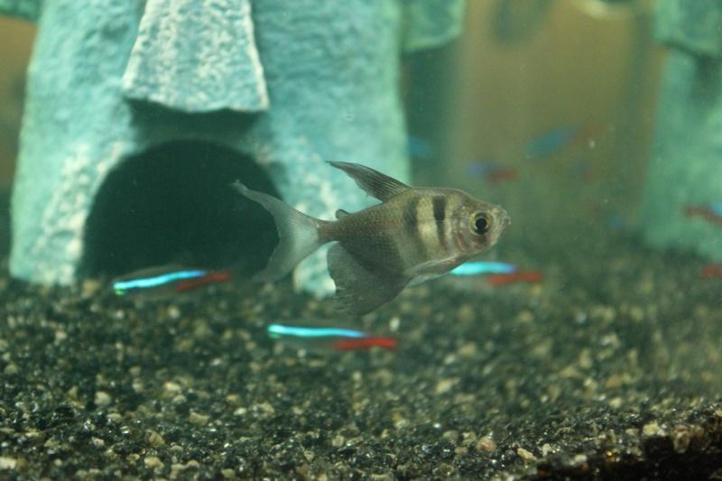 mon rikiki aquarium de 25 L  Img_4317
