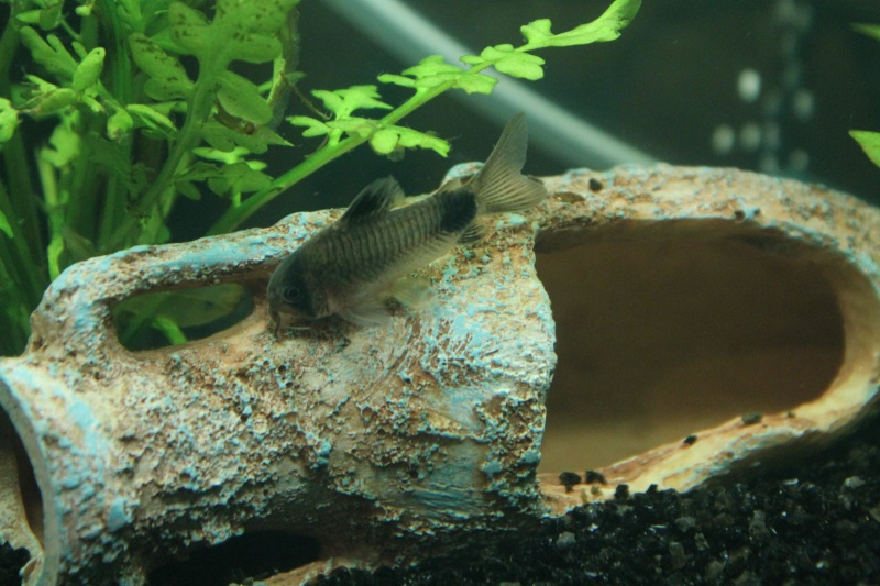 mon rikiki aquarium de 25 L  Img_4319