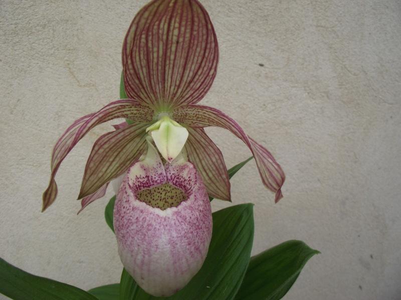 "Cypripedium : fleur ""monstrueuse"" Dscf3337"